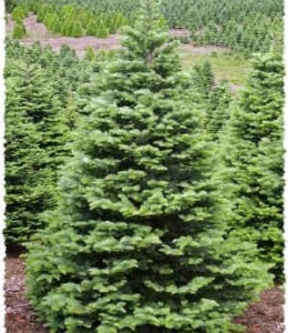Few Informative Lines About The Types Of Christmas Trees Available Widely